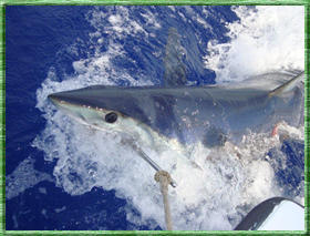Shark Fishing Picture Provided By Main Attraction Charters